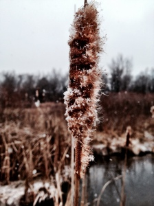 Cattail during a light snow in Fort Collins, Co // Instagram: madidrag