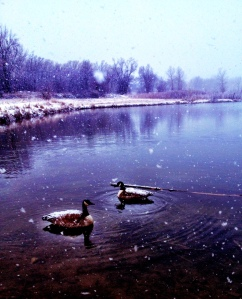 Snowy Geese