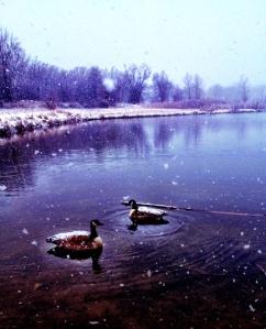 Snowy Geese