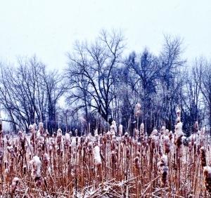 Cattails in Snow