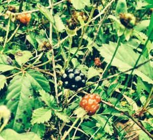 Blackberry season is upon us!