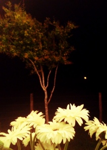 Full Moon & Daisies in Yoakum, Texas