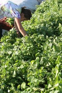 radish-harvest2